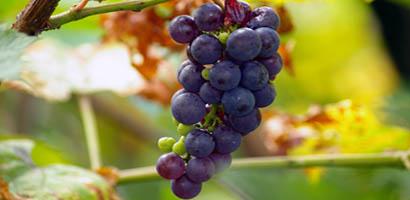 La Française : une nouvelle SCPI… viticole!